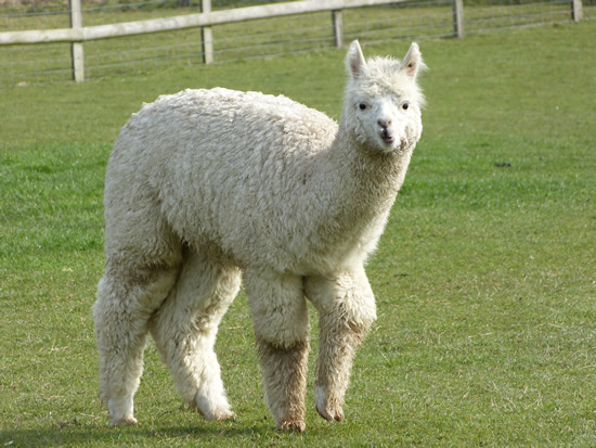 alpacaannie02.jpg