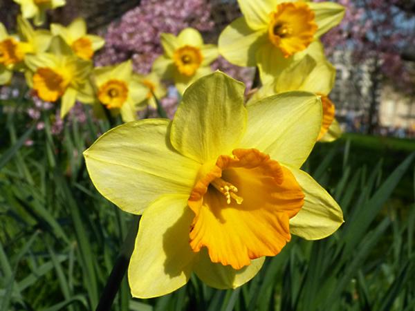 daffodilshydepark1.jpg