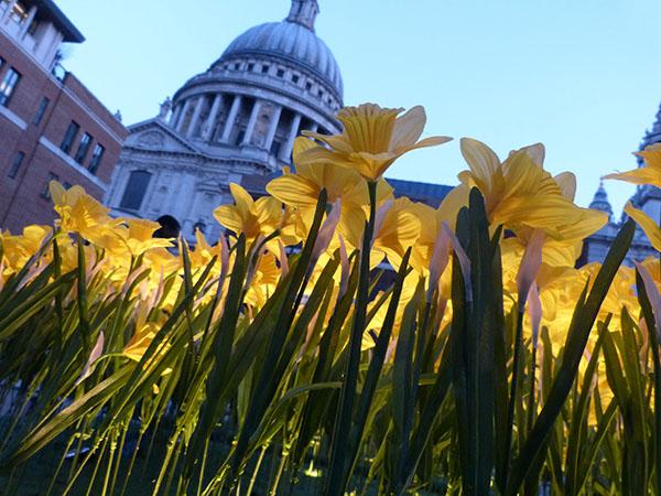 marie curie daffodils01jpg