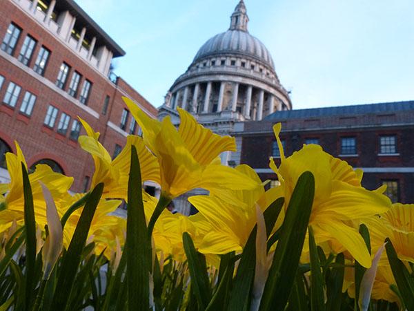 marie-curie-daffodils03.jpg