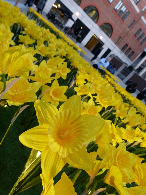 marie-curie-daffodils04.jpg