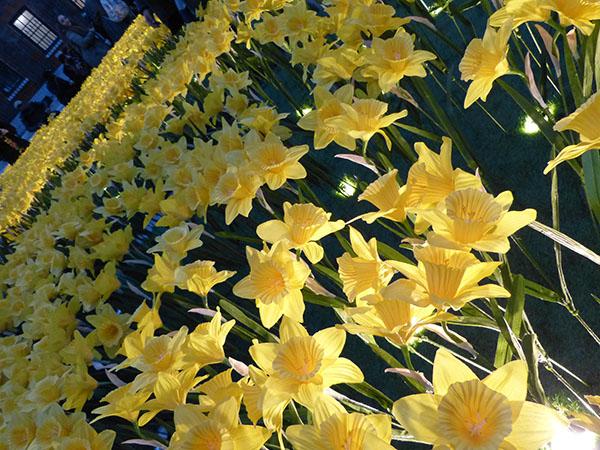 marie-curie-daffodils05.jpg