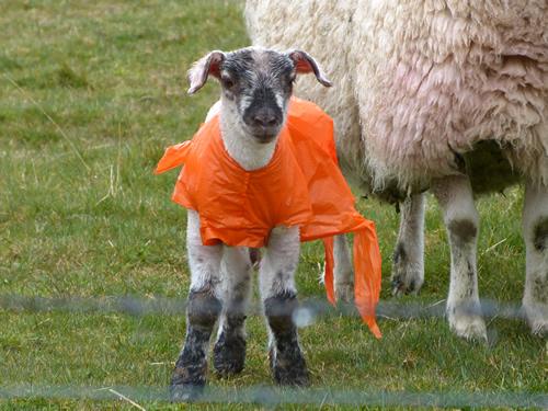 orkney-sheep1.jpg