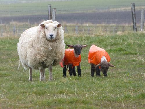 orkney-sheep2.jpg