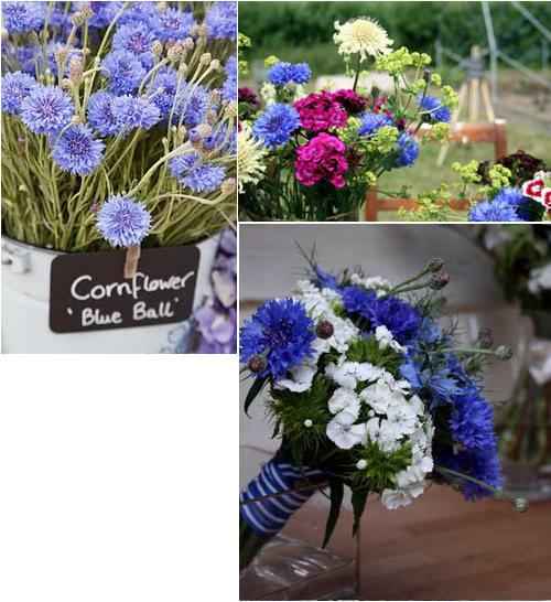 cornflower_8.jpg
